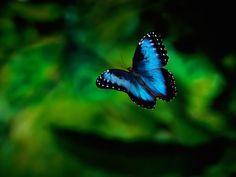 Blue Morpho Butterfly Rainforest Pic 3 , 6 Blue Morpho Butterfly Rainforest Pictures In Butterfly Category Butterfly Tree, Morpho Butterfly, Butterfly Pictures, Butterfly Quotes, Butterfly Kisses, Morpho Bleu, Blue Morpho, Blue Butterfly Wallpaper, Butterfly Background