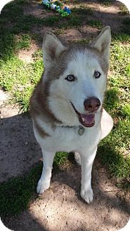San Jose, CA - Husky. Meet Rusty, a dog for adoption. http://www.adoptapet.com/pet/17870526-san-jose-california-husky