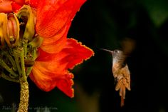 mis fotos de aves: (apodiformes / trochilidae) pablo eguia