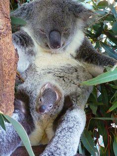 Lone Pine Koala Sanctuary - Tooooop cute Source by Sandliros Post Animal, My Animal, Cute Funny Animals, Cute Baby Animals, Wild Animals, Lone Pine Koala Sanctuary, Australia Animals, Quokka, Baby Koala