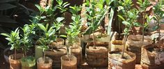 How two Dutch women now living in South Africa, are contributing to sustaining the Limpopo indigenous landscape by sponsoring a baobab guardian and the planting and care of a baobab tree.