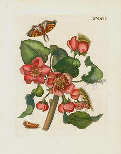 """Antique botanical engraving """"Pyrus prasina florens"""" by Maria Sibilla Merian. From """"Der Rupsen Begin"""" Prints 1713. The finely detailed & richly hand colored copper engravings portray butterflies & insects along with the fruits and flowers on which they lived."""