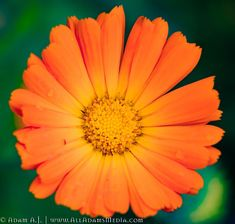Flowers bright in color such as the calendula, attract birds, bees and other insects and help plants reproduce. How To Attract Birds, Calendula, Macro Photography, Stock Photos, Flowers, Plants, Flora, Plant, Royal Icing Flowers