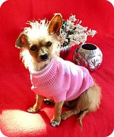 Irvine, CA - Yorkie, Yorkshire Terrier/Chihuahua Mix. Meet Winkie, a dog for adoption. http://www.adoptapet.com/pet/17322684-irvine-california-yorkie-yorkshire-terrier-mix