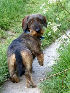 Dachshund Breed, Wire Haired Dachshund, Daschund, Wiener Dogs, Hunting Dogs, Dog Owners, Brittany, Dog Breeds, Ali