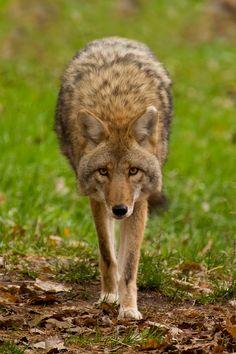 Coyote                                                                                                                                                                                 More
