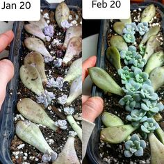 Propagate Succulents From Leaves, How To Water Succulents, Growing Succulents, Cacti And Succulents, Growing Plants, Planting Succulents, Cactus Plants, Garden Plants, Planting Flowers