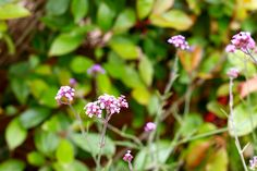 Verbena bonariensis 'Lollipop' - Compact dwarf Verbena with small clusters of lavender flowers throughout summer. Suitable for front of border. Good cut flowers and attract butterflies, H www. Lavender Flowers, Summer Flowers, Cut Flowers, Colorful Garden, Verbena, Dwarf, Pavilion, Garden Furniture, Compact