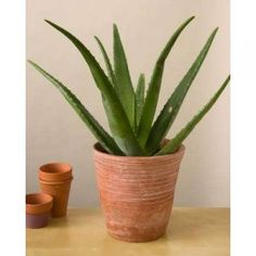 Aloe Vera plants on Pinterest  Aloe vera, Growing aloe vera and Aloe
