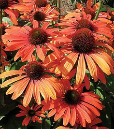 Echinacea 'Julia'. Love this coneflower color for cutting garden.