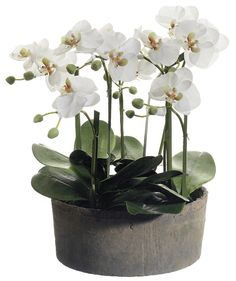 Features:  -Faux phalaenopsis orchid flowers.  -Clay pot.  -Simple yet elegant.  Product Type: -Floral Arrangements.  Color: -Whites, Greens.  Size: -Small.  Flower: -Orchids.  Container Finish: -Cera