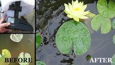 Murky pond water? Easy trick for a sparkling clear pond - get the gunk out within hours!