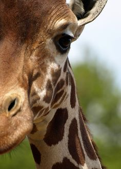 drxgonfly:  Giraffe by Old-Man-George on Flickr.