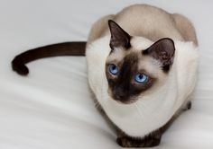 FLUFFY CAT BREEDS -The fluffy cat is usually the separate discussion : they're soft,that will resemble residing toys which as well as wishes to continuously Big Animals, Cute Baby Animals, Animals And Pets, Tonkinese Kittens, Siamese Cats, Kittens Cutest, Cats And Kittens, Fluffy Cat Breeds, Balinese Cat
