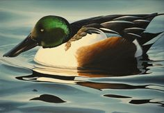 Northern Shoveler. I have one of these little guys out on my back pond this week. No female with him, and the mallard pair keeps harrassing him. He's quite a bit smaller than they are, but much prettier with his white breast...especially in reflections.
