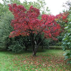 Prunus sargentii - Bergkörsbär på hösten