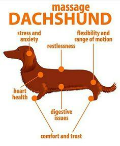 Dachshund Longhaired