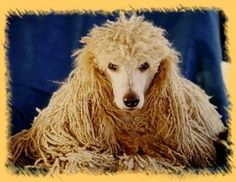 Apricot Corded Standard Poodle
