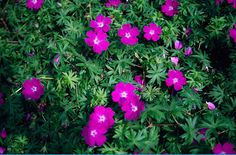 "Geranium sanguineum - Bloody cranesbill A great low maintenance ground cover I use in my garden beds.  A great champion with daffodils.  The green foliage is up approx 6"" when the daffs bloom and continues to grow taller to hide the die back of the daffs after  their spring bloom is over."
