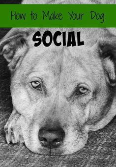 How to Make Your Dog Social. Is your dog a bit anti-social? Get him to come out of his shell!