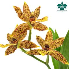 Propethalum Mathina  #orchids #Orchidee #Orchideen #OrchIDEENgarten #orquídea #orquídeas #orchidées #orchidée #orchidej #orchideje #orkid #orkidéer #orchidacea #asorquideas #nature #naturelovers #iloveorchids #loveit #Blumen #orchidsofinstagram #orchidstagram #orchidacea #flowers #flower #pacorchidexpo #love #orchidshare #instalike #garden #gardening