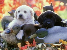 Duck and Labrador retriever