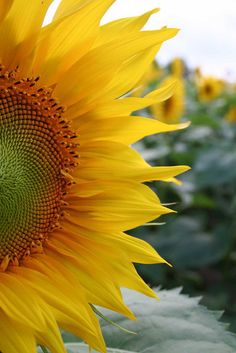 Sunflowers make my heart race.... I want a whole field of them!