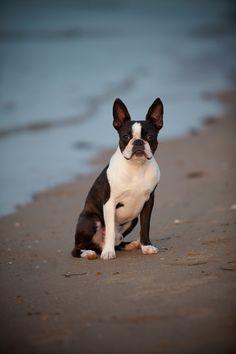 Boston Terrier on beach
