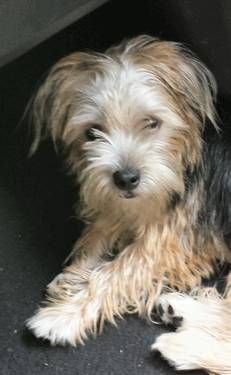 Rockie the mixed breed (looks like a little Benji terrier ...