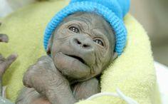 This baby female gorilla was born through a rare emergency C-section at the San Diego Zoo Safari Park on March Primates, Female Gorilla, Emergency C Section, Baby Gorillas, Baby Orangutan, Orangutans, Animal Print Shirts, San Diego Zoo, Rare Animals