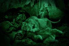 15 тысяч лет назад. Пещерный лев задрал пещерного медведя и утащил в Медвежью пещеру в Румынии.