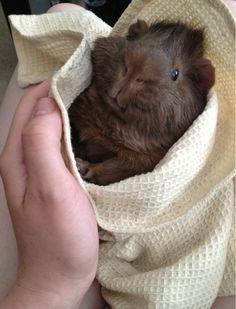 cute burrito pig