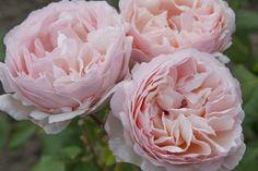 Rosa Princesse Charlène de Monaco ®
