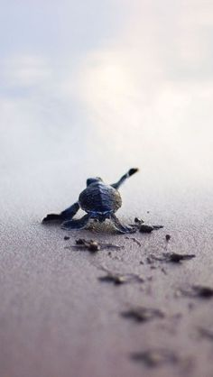 little turtle on the way to the sea - Star - . - A little turtle on the way to the sea – Star – … – sea – -A little turtle on the way to the sea - Star - . - A little turtle on the way to the sea – Star – … – sea – - Baby Sea Turtles, Cute Turtles, Turtle Baby, Small Turtles, Cute Baby Animals, Animals And Pets, Funny Animals, Wild Animals, Funny Pets