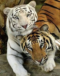 Best Friends Forever White Tiger and Bengal Tiger Beautiful Cats, Animals Beautiful, Amazing Animals, Beautiful Couple, Big Cats, Cats And Kittens, Small Wild Cats, Animals And Pets, Cute Animals