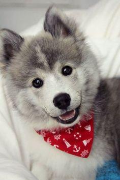 "What Do You Know About The Latest Hybrid Dog ""pomsky""? Pomeranian and Husky. He looks so happy!!"