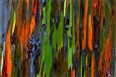 Hawaiian Treescapes: Rainbow Eucalyptus; photo by Christopher Martin Photography