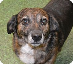 Hi! My name is JayJay and I am a super little guy. I weigh about 15 pounds but I am chubby! I do well with other animals and am an overall friendly little guy. I would make a great little apartment dog. Wilmington, NC - Australian Shepherd Mix.