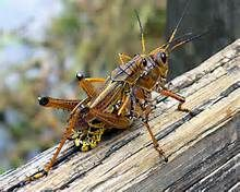 grasshoppers - Yahoo Image Search Results