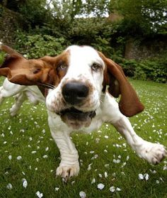 Basset Hound Pup playing! Adorable!