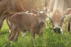 Cows cows COWS!