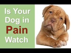 What Can You Give A Dog For Pain - More Info:http://www.bestdoggiestuff.com/stoppainIn this video it you well learn what can you give a dog for pain relief. It also provides you with information about what can you give a dog for pain after surgery. And what is real important, what can you give a dog for pain over the counter. You will also what can you give a dog for pain and swelling.Watch here... how good people helped a dog in…