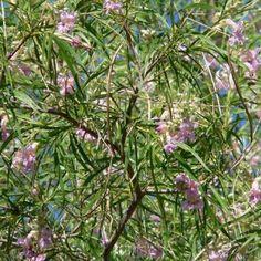 Desert Willow Chilopsis linearis Common Names:Orchid of the Desert, Desert Catalpa, Flowering Willow Light: Full Sun/Part Shade Height: 15′ – 20′ Spacing/Spread: 15′ &#8211…