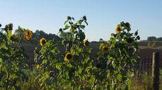 Sunflowers summer 2015