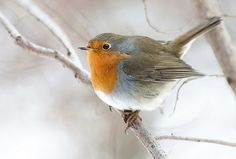 what wilson wants...: ( friday's palette - Christmas Robin )