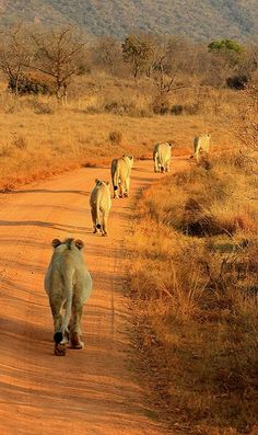 Entabeni Game Reserve, South Africa Pinned by Green Mountain Lodges Safari Tours. Visit our website here: African Animals, African Safari, South Africa Wildlife, Lion Africa, South Africa Safari, Kenya Africa, Africa Art, West Africa, Safari Outfits