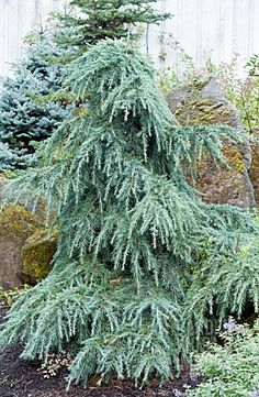 As the name implies this little cedar is prized for its bluish colored foliage. It has a mounding habit and is slow growing and makes an excellent addition to the garden. A real prize in the alpine themed landscape. Conifer Trees, Trees And Shrubs, Trees To Plant, Garden Shrubs, Garden Trees, Privacy Landscaping, Garden Landscaping, Outdoor Plants, Outdoor Gardens
