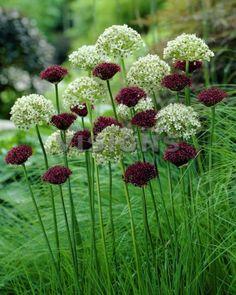 Allium atropurpureum, Allium nigrum - Gardening For You