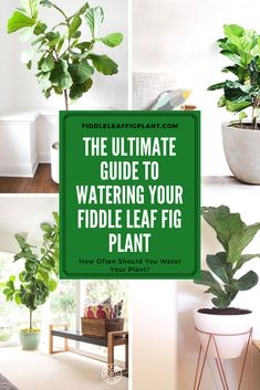 The Ultimate Guide to Watering Your Fiddle Leaf Fig Plant. How often should you water your plant? Click to read how you can tell if your Fiddle Leaf Fig Plant is receiving too little or too much water and what to do. #fiddleleaffigplant #gardening #houseplants