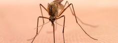 Why Are Some People More Prone To Mosquito Bites?